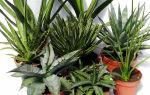 11 видов агавы с фото