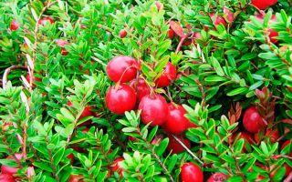 Клюква: фото, виды, польза ягод, противопоказания
