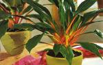 Хлорофитум оранжевый – неприхотливый красавец