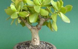 6 способов помочь денежному дереву приносить успех и богатство в дом
