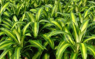 Драцена душистая: 7 правил здорового растения