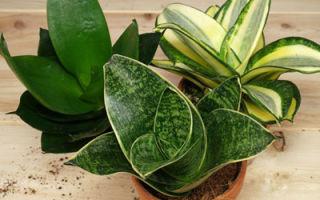 Щучий хвост или сансевиерия — цветок для души