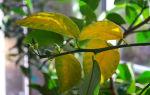 Как избежать пожелтение листьев на растениях