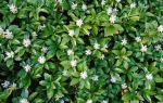 7 почвопокровных растений, которые используют садовники вместо травянистой лужайки