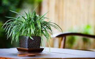 9 причин завести хлорофитум у себя дома