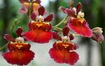 Цветок Онцидиум: 13 популярных видов и уход за ними