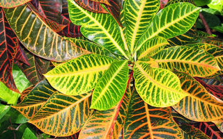 Кодиеум пестрый: как угодить тропическому экзоту