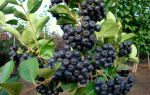 Арония черноплодная (рябина): посадка и уход