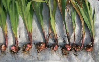 Что делать с «детками» гладиолусов – как размножить эти цветы самостоятельно