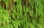 Адиантум: 20 основных видов и уход за ними