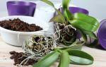 4 способа размножить орхидею фаленопсис