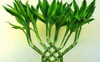 Драцена сандера или бамбук счастья: как ухаживать в домашних условиях