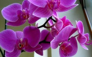 Чем я поливаю орхидею, чтобы она выпустила цветонос