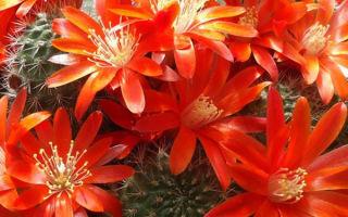 Ребуция – фото первой красавицы в коллекции кактусовода