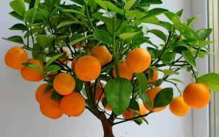 Каламондин или домашний мандарин