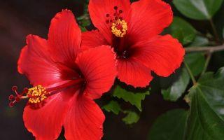 5 экстравагантных комнатных растений с красными цветами