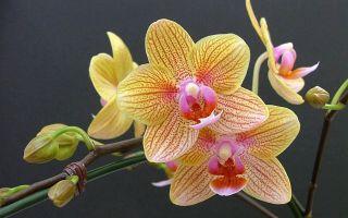 3 действенных способа спасти орхидею от загнивания после пересадки