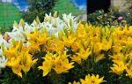 5 условий, при которых лилии будут пышно цвести