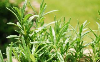 Забудьте о комарах: какие растения посадить, чтобы избавиться от комаров на даче