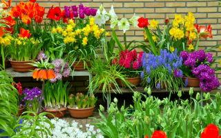 Пора выкапывать луковичные цветы: как правильно собирать и хранить