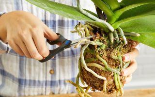 4 причины не обрезать корни у орхидеи, о которых знают преданные ценители Фаленопсиса