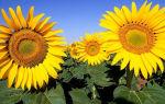10 растений привлекающих насекомых-опылителей на ваш участок