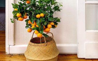 7 растений для плодового садика в собственной квартире