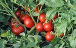 Капризные томаты: 4 причины скручивания листьев помидоров и что с этим делать