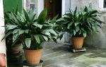 Аспидистра или чугунное растение: 12 видов с фото