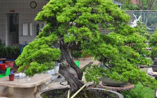 Дерево мечты — как вырастить бонсай из толстянки