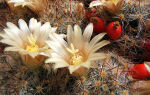 Маммиллярия: 30 видов кактуса и особенности ухода в домашних условиях