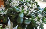 Как цветет денежное дерево – ухаживаем за растением правильно