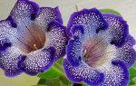 Чтобы у глоксинии было много цветов: 5 правил ухода за растением