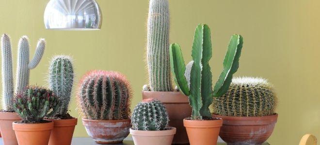 5 мест в квартире, где лучше всего поставить кактус