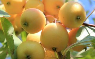 7 сортов молодильных яблок, которые нужно вырастить на даче