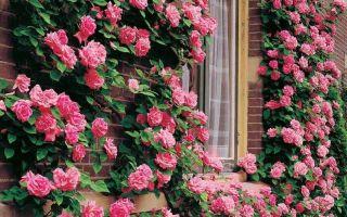 7 вьющихся растений для дачи, которые не нужно пересаживать каждый год