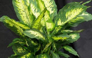 Как размножить заокеанскую тропиканку диффенбахию в домашних условиях