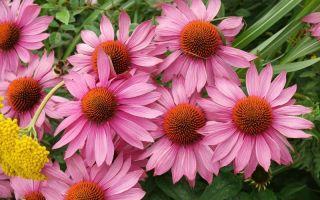 Какие садовые цветы превращаются в сорняк