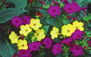 7 растений с чарующим ароматом, которые распускаются после заката