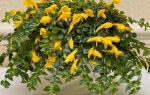 Колумнея: описания сортов с фото и особенности ухода за цветком
