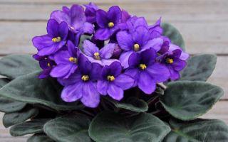10 дешевых средств для пышного цветения фиалки