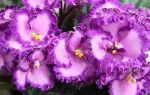Узамбарская фиалка (сенполия): красавица с бархатным сердцем