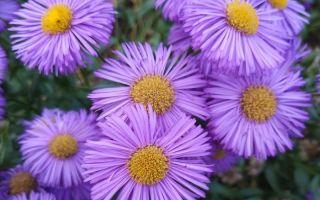 8 шикарных многолетних цветов, которым не страшны морозы