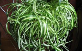 9 полезных свойств хлорофитума хохлатого и уход за растением