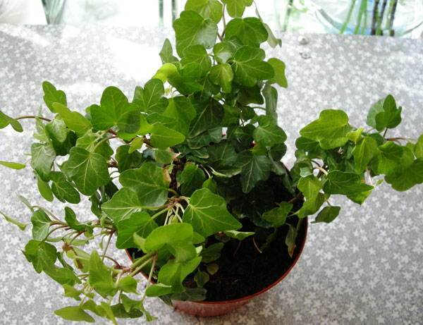комнатное растение плющ фото