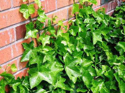 4 вида плюща садового: особенности, уход, размножение