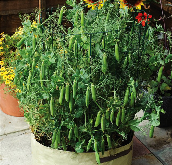 Выращивание гороха на балконе