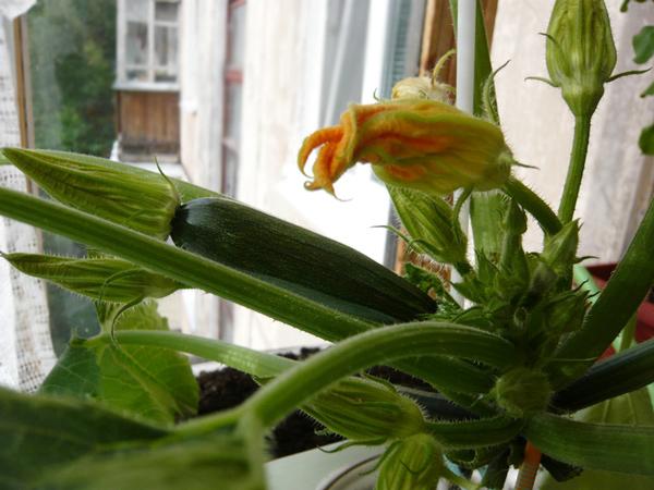 Особенности выращивания кабачков на балконе