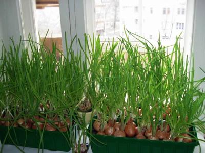 Зелень на балконе — витамины круглый год