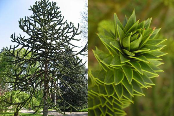 Растение араукария